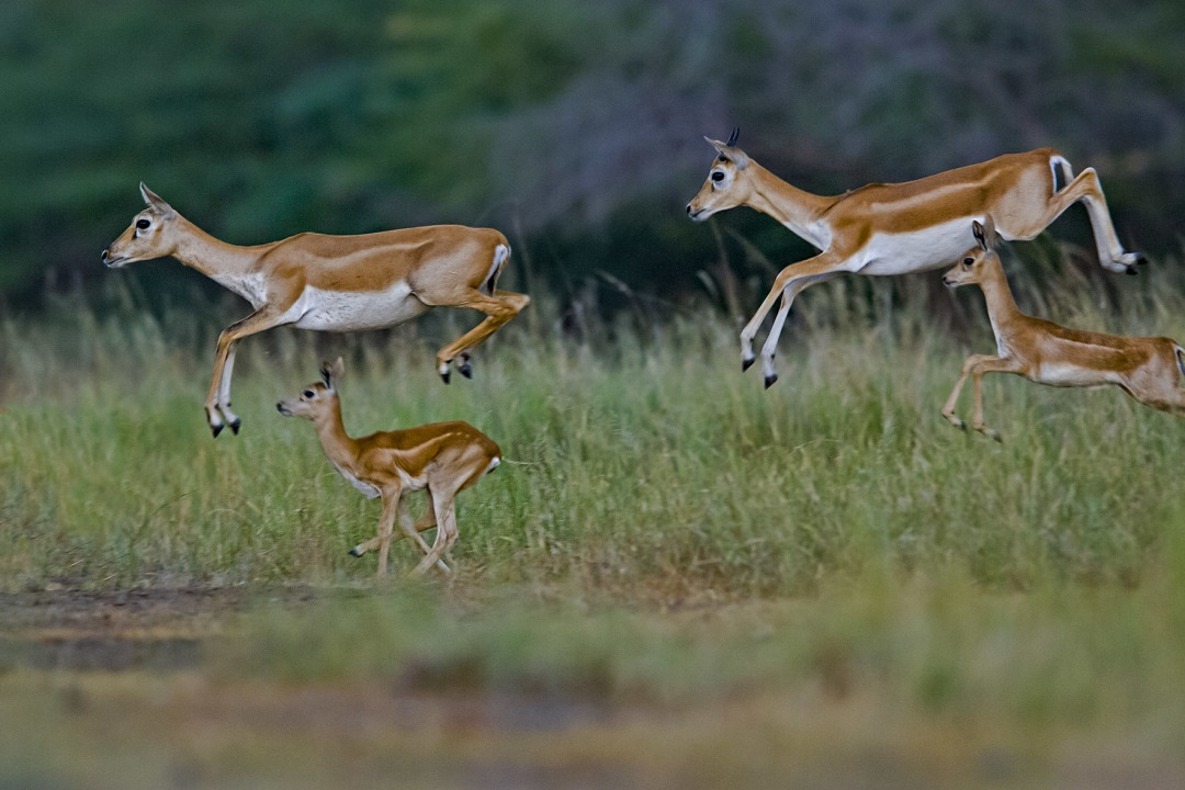 The Serengeti of Saurashtra: Sightings Abound at the Blackbuck National Park in Gujarat