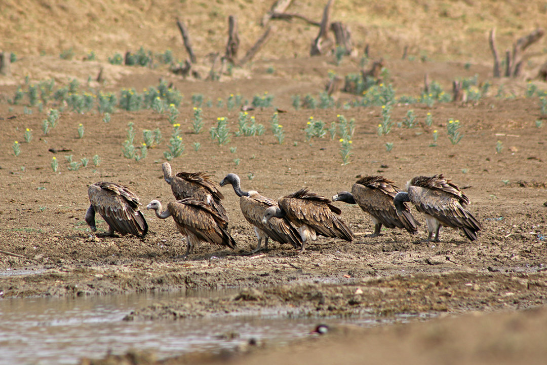 Vulture population in Bundelkhand increases by 103 per cent in the past decade