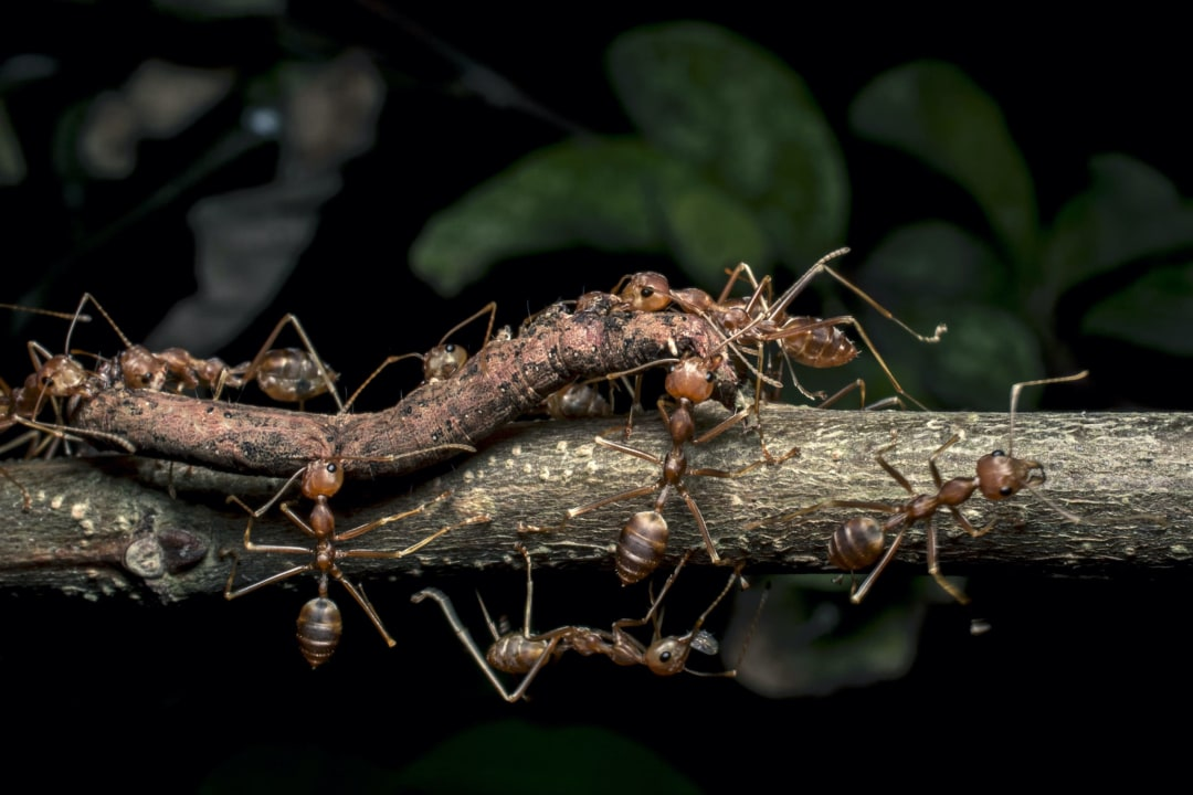 Canopy Colonisers: Battles of the Weaver Ant Armies