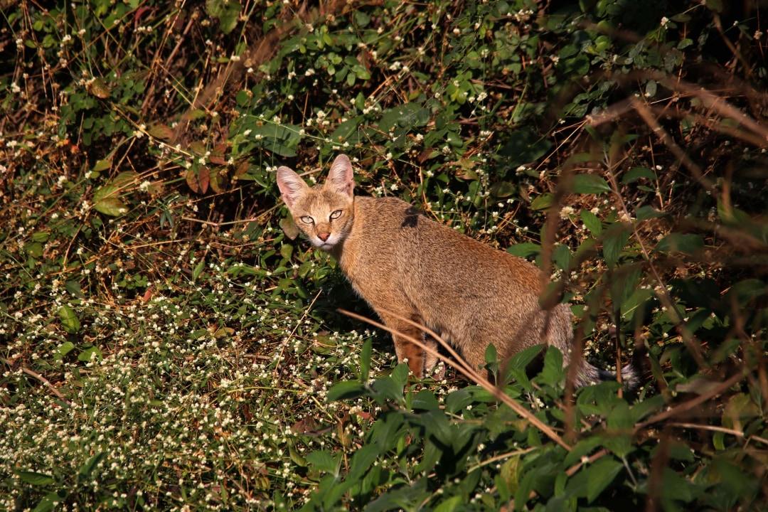 Jungle Cat: Facts, Habitat, Threats