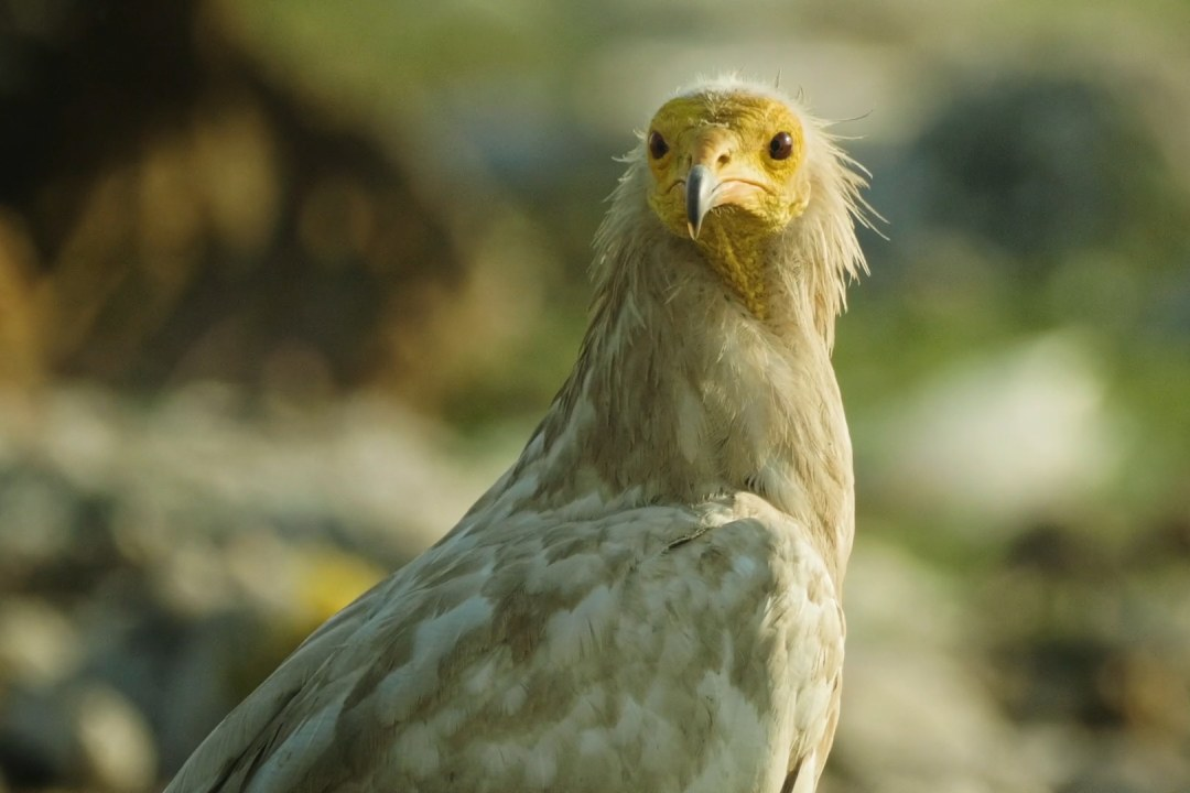 Vultures: Scavengers of the Sky at Risk