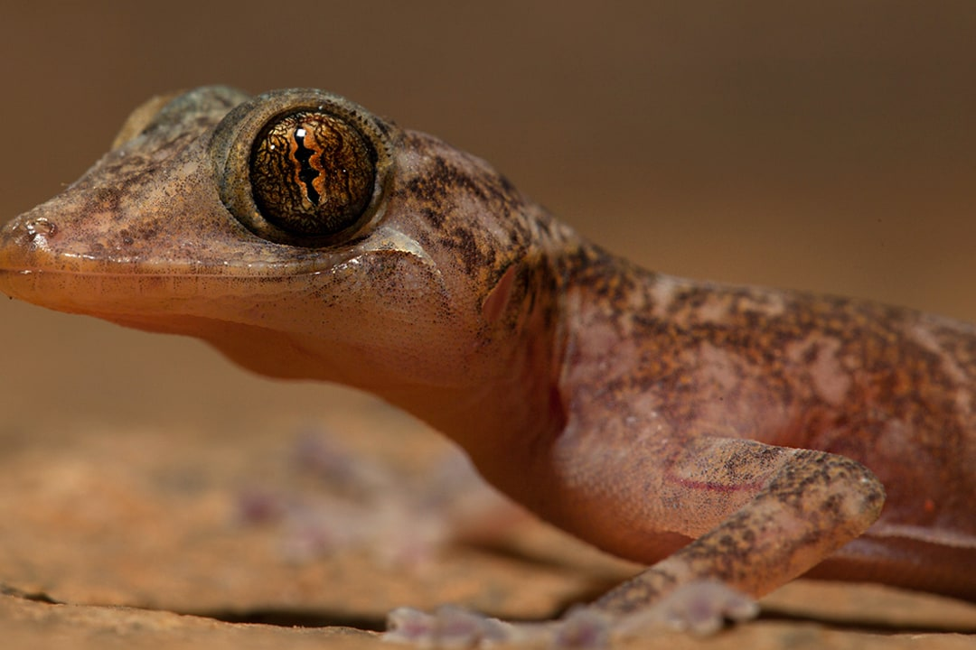 Dazzled by the Golden Gecko: Dainty Lizard of the Ruins