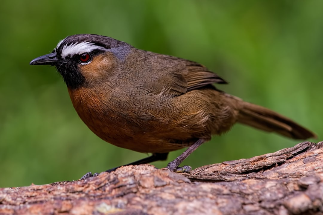 No Laughing Matter: Nilgiri Laughingthrush and its Habitats at Risk
