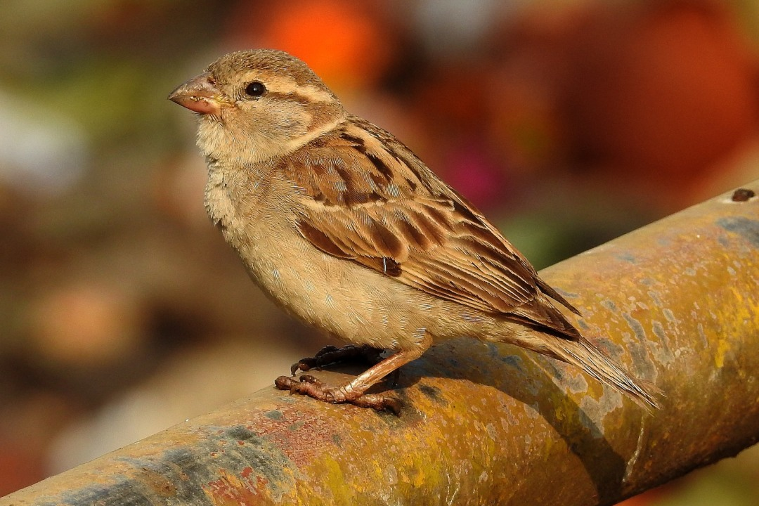 Building Nests to Save Delhi's Sparrows