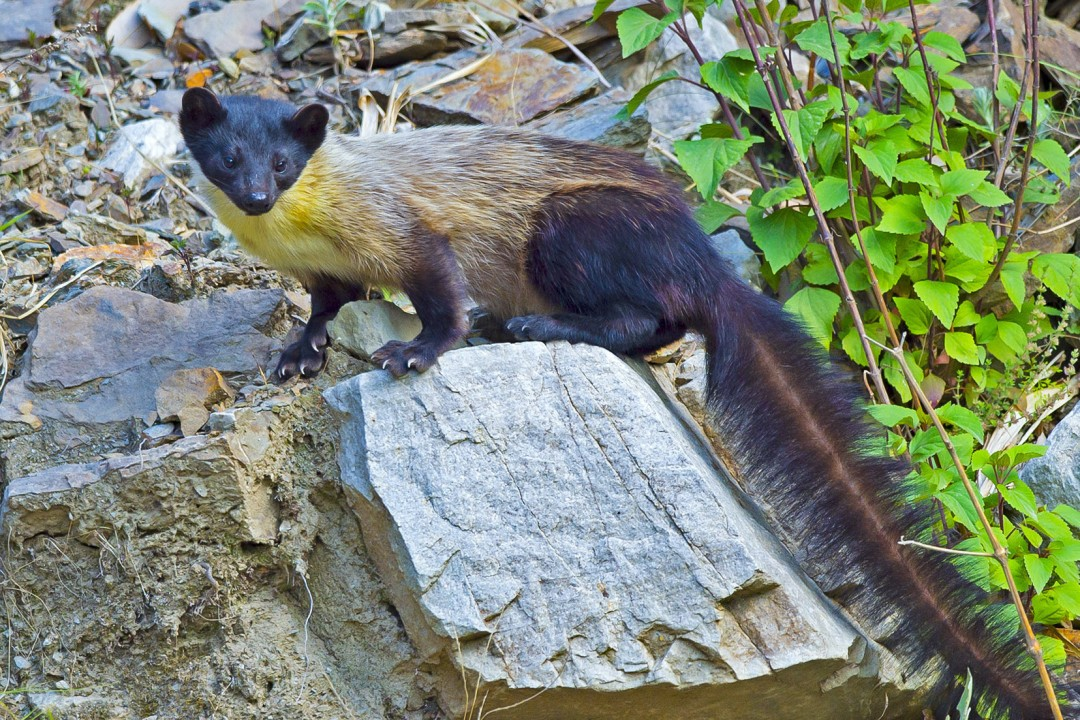 Yellow-throated Marten: Feisty, Fearless Predator of the Himalayas