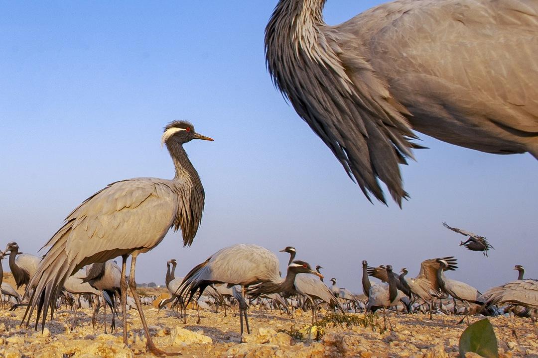 Guest List of Thousands: Demoiselle Cranes in Kheechan