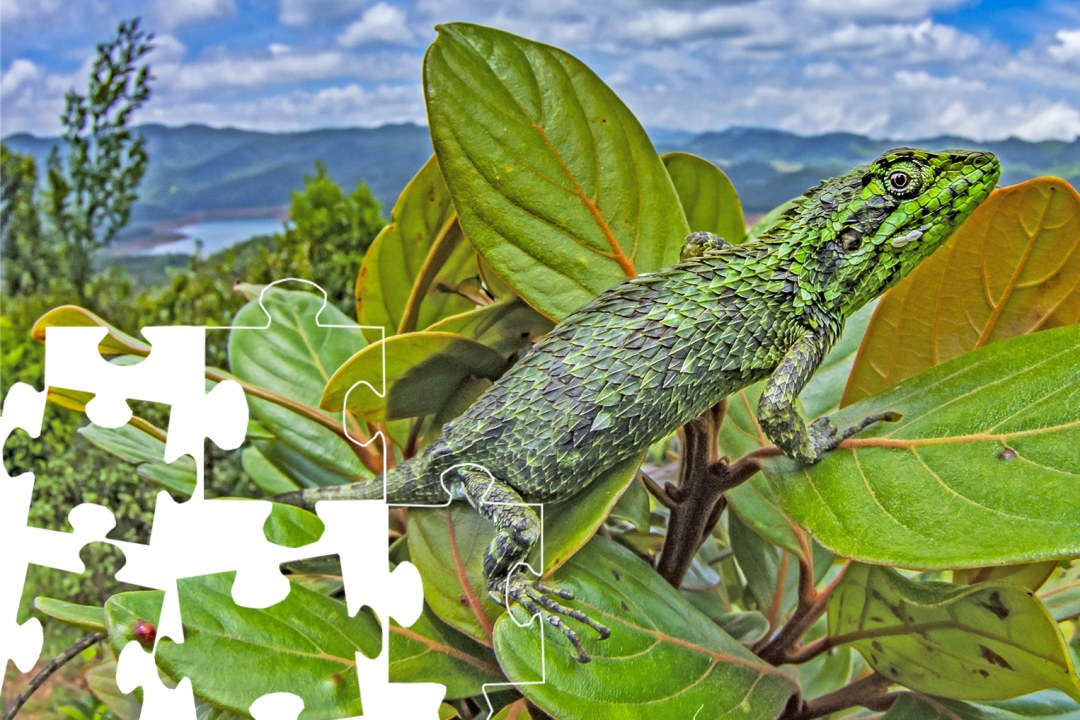 Jigsaw: The checkered lizard with a gorgeous view
