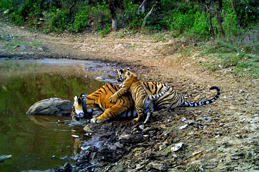 Striped Sisters Lead Conservation in Sariska