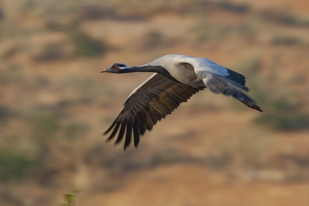 Demoiselle Cranes: High-Flying Damsels