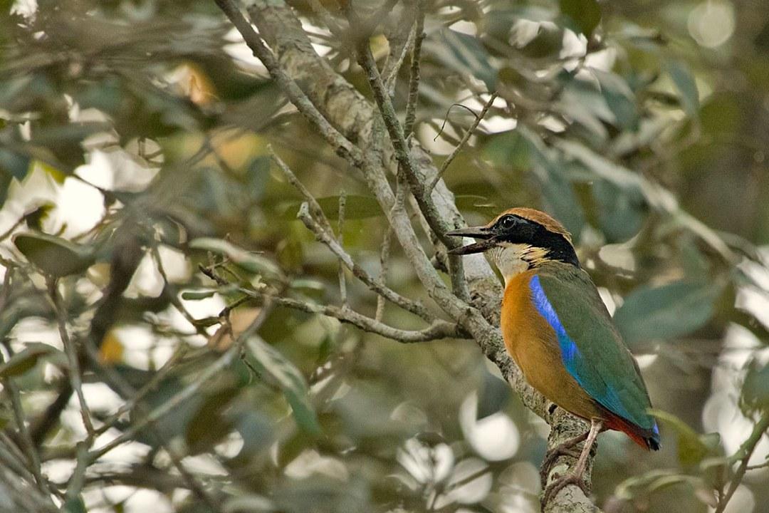 The Mangrove Pitta: A Blue Streak in the Mud