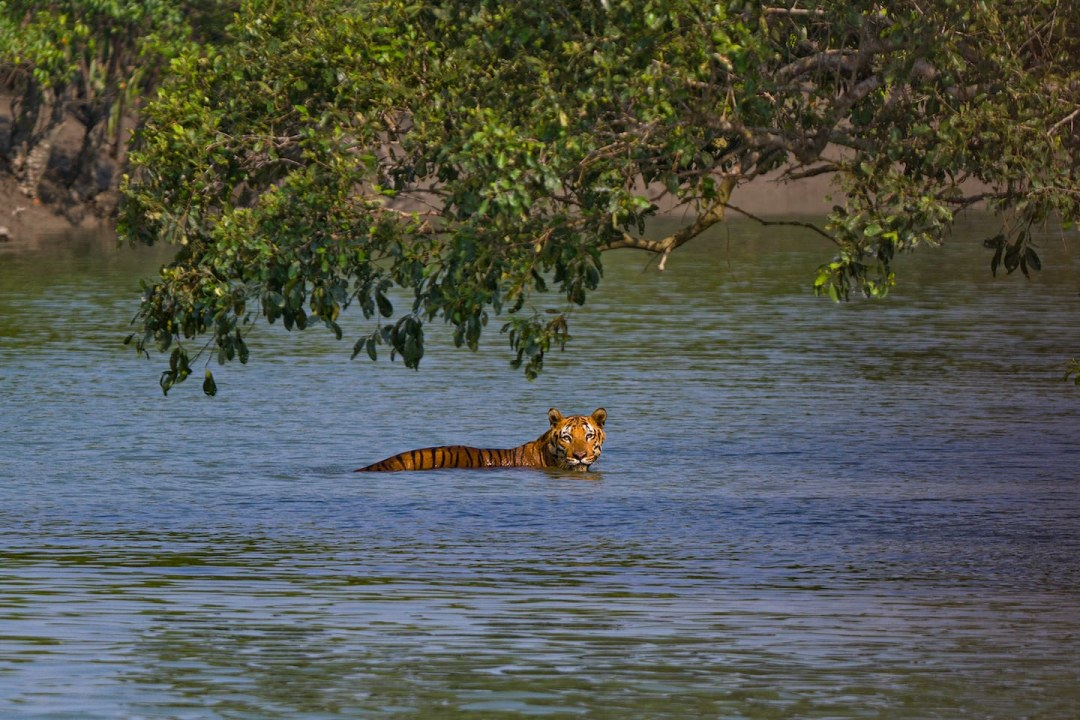 Shadow in the Swamp: The Aberrant Tiger of Sundarbans