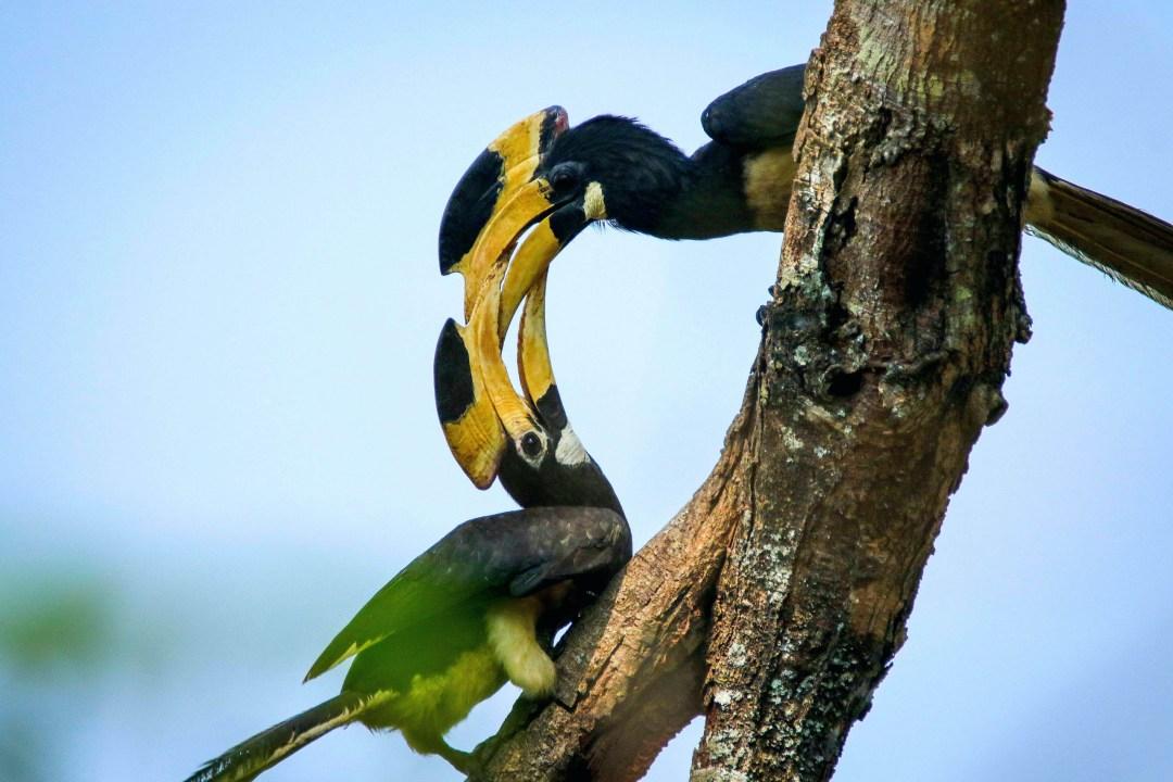 Malabar Pied Hornbill: Facts, Habitat, Threats