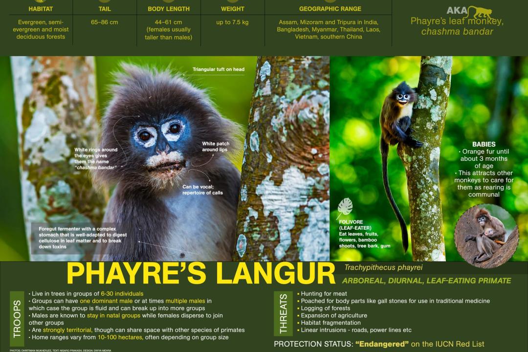 Phayre's Langur Facts: Diet, Size and Habitat
