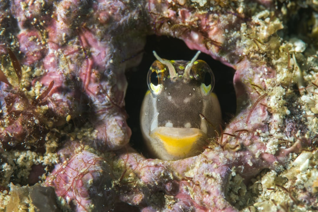 Blennies: Facts, Lifespan, and Life on the Coral Reefs