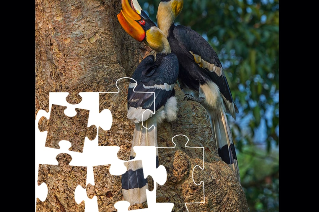 The Hornbill and its One Great Love