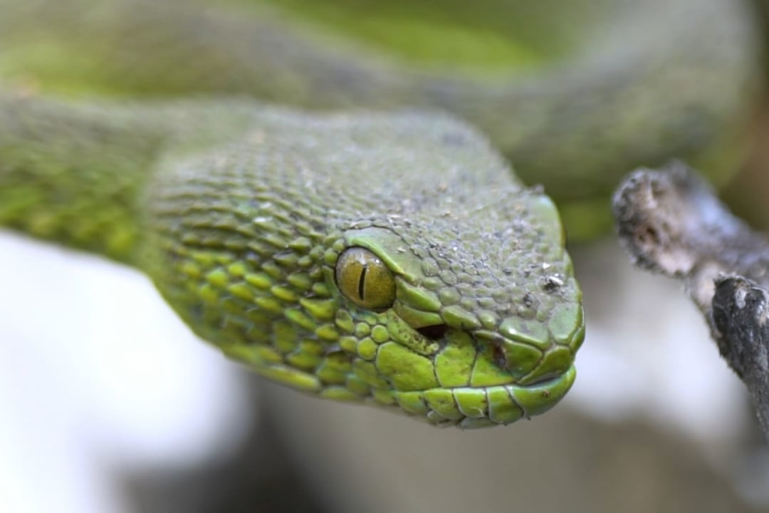 Spot-tailed Pit Viper: The Covert Operator of Coringa