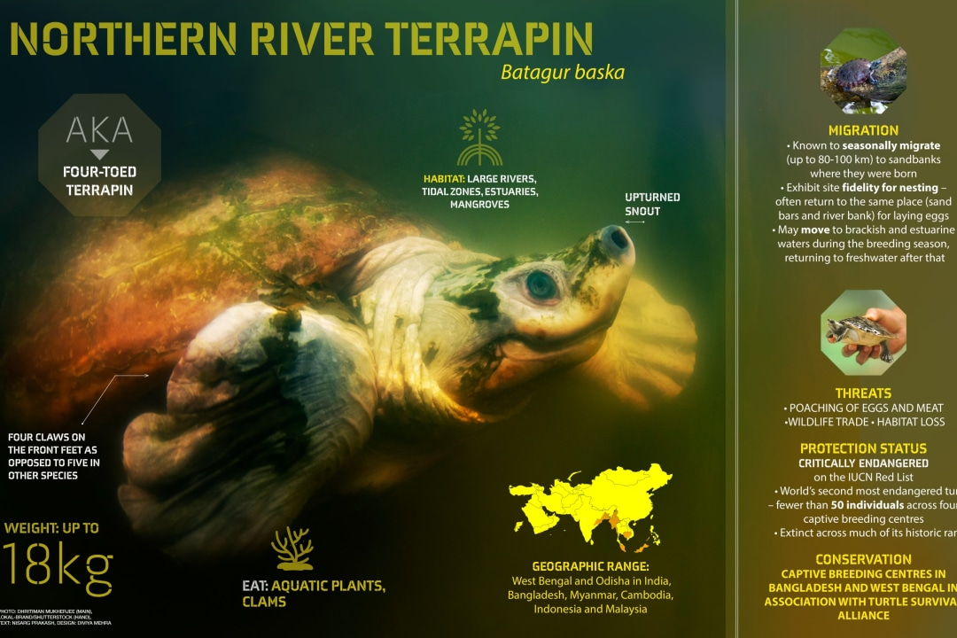 Northern River Terrapin