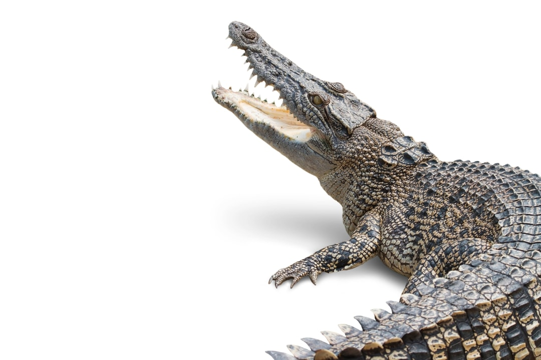 Saltwater Crocodile Facts: Size, Bite Force, Habitat