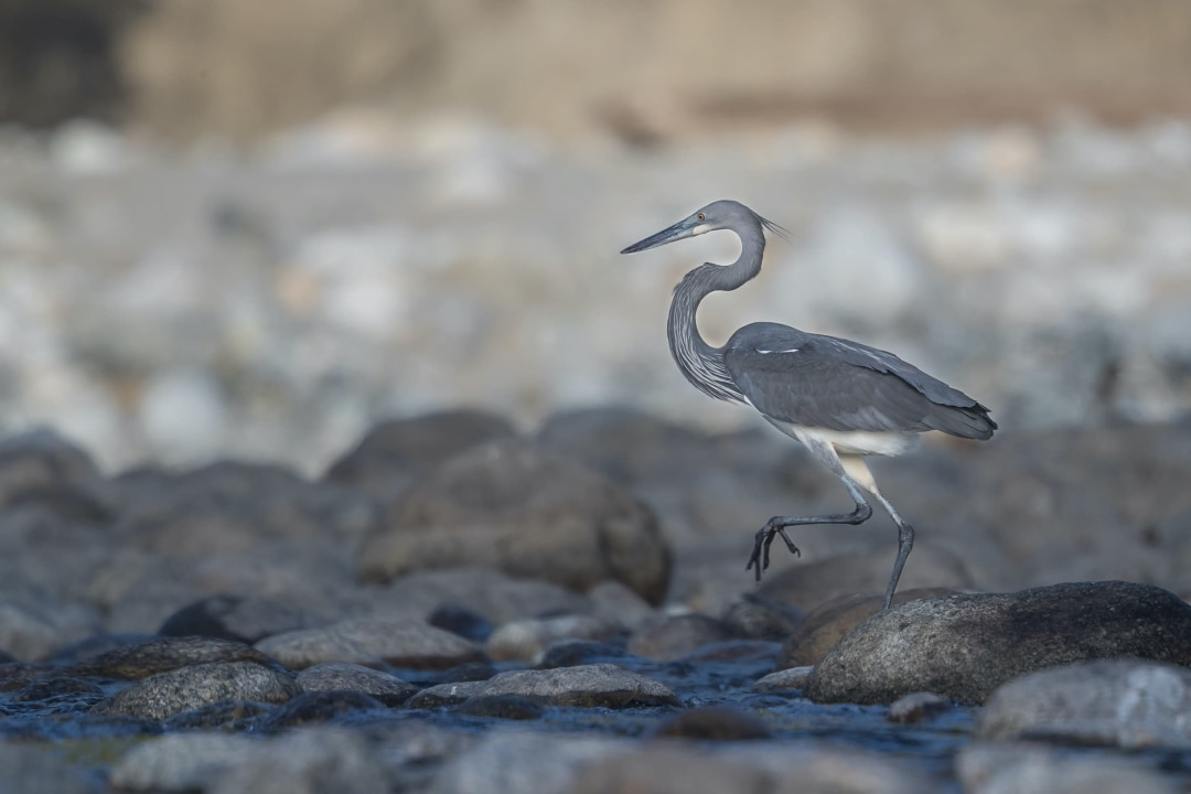 White-bellied Heron: Facts, Diet, Habitat