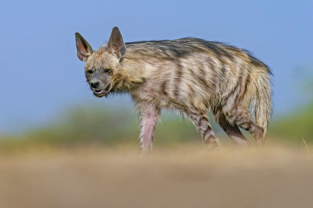 Striped Hyena: Facts, Diet, Habitat