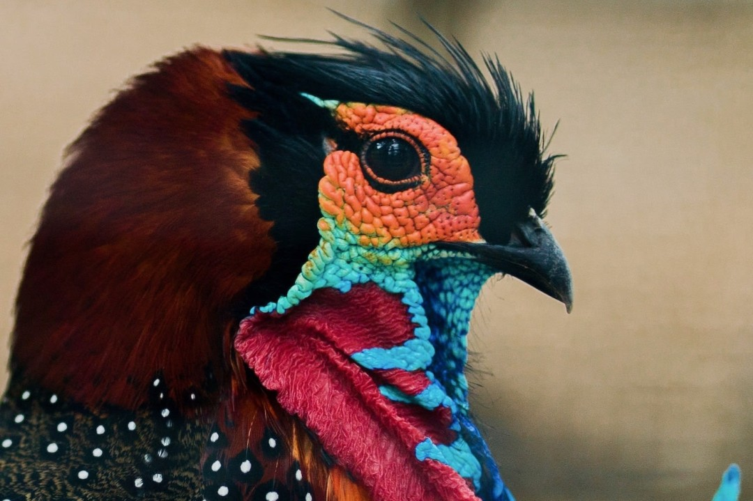 Western Tragopan: Facts, Diet, Habitat