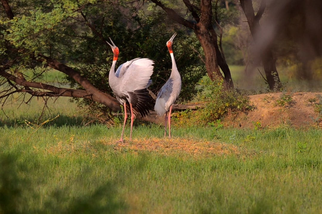 Songs of Love: Sarus Cranes' Lifelong Romance