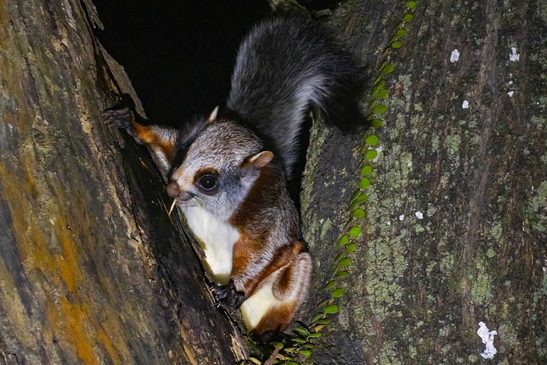 Red Giant Gliding Squirrel: Facts, Habitats, Threats