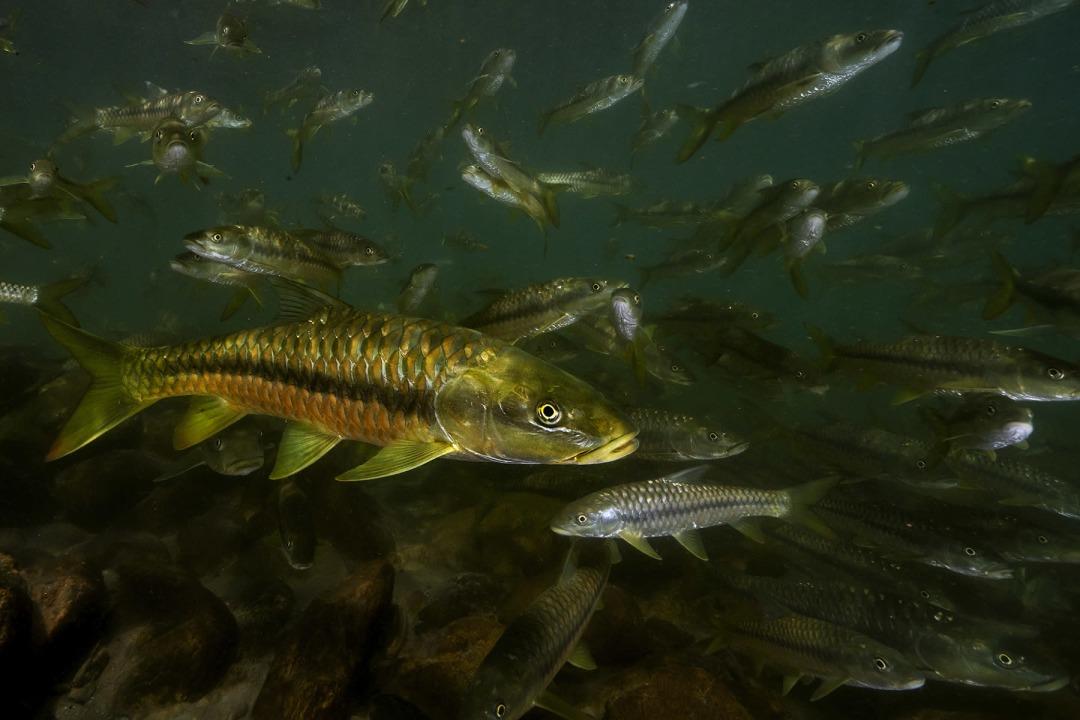 Golden Mahseer: Facts, Threats, Habitat