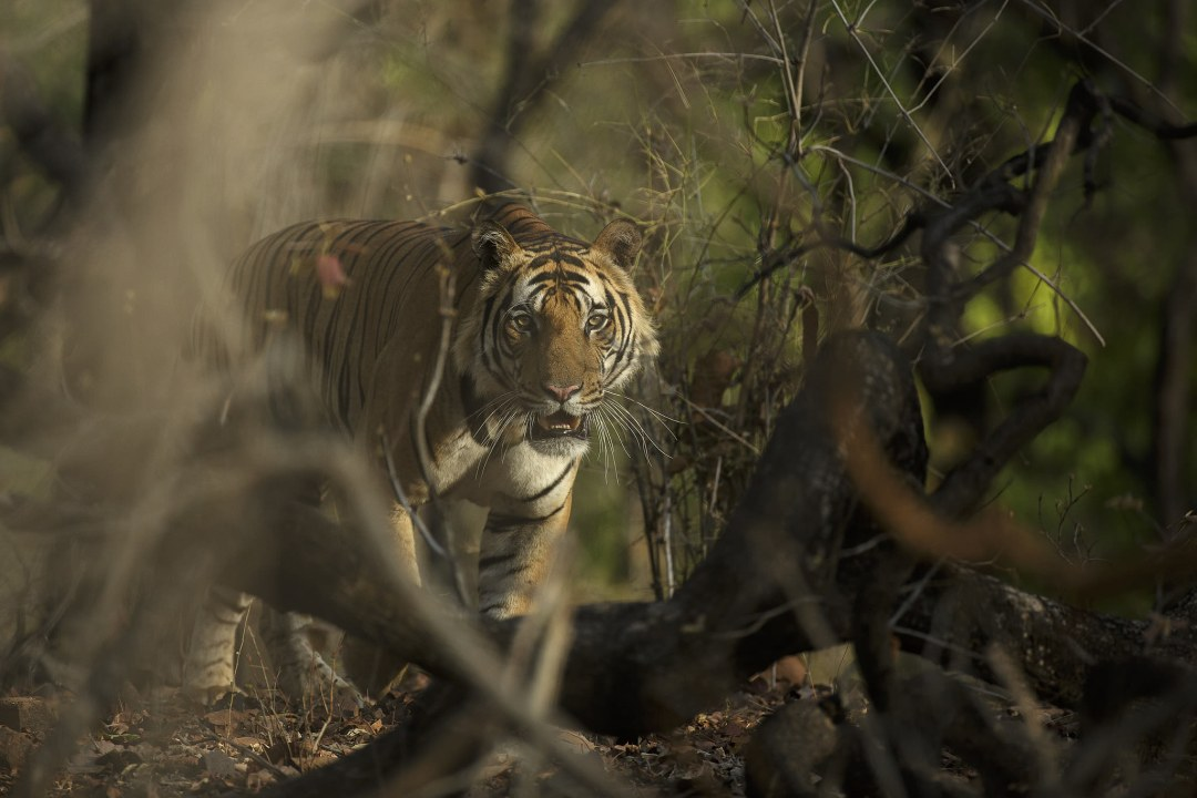 Rising Mining Activities Threaten Tiger Habitats