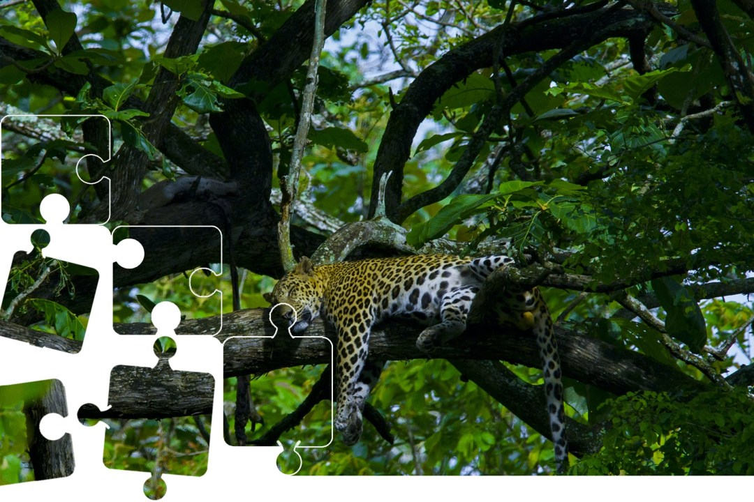 Wildlife Puzzle: A Leopard takes a Catnap
