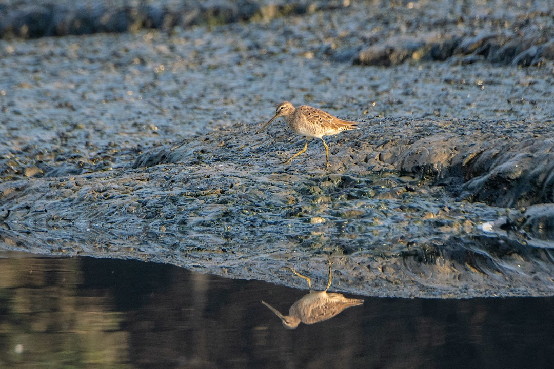 Accidental Tourist: The Vagrant Long-Billed Dowitcher
