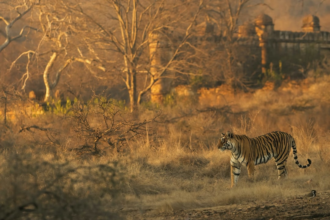 Ranthambore: Majestic Forts, a Deciduous Forest and the Reign of the Tiger