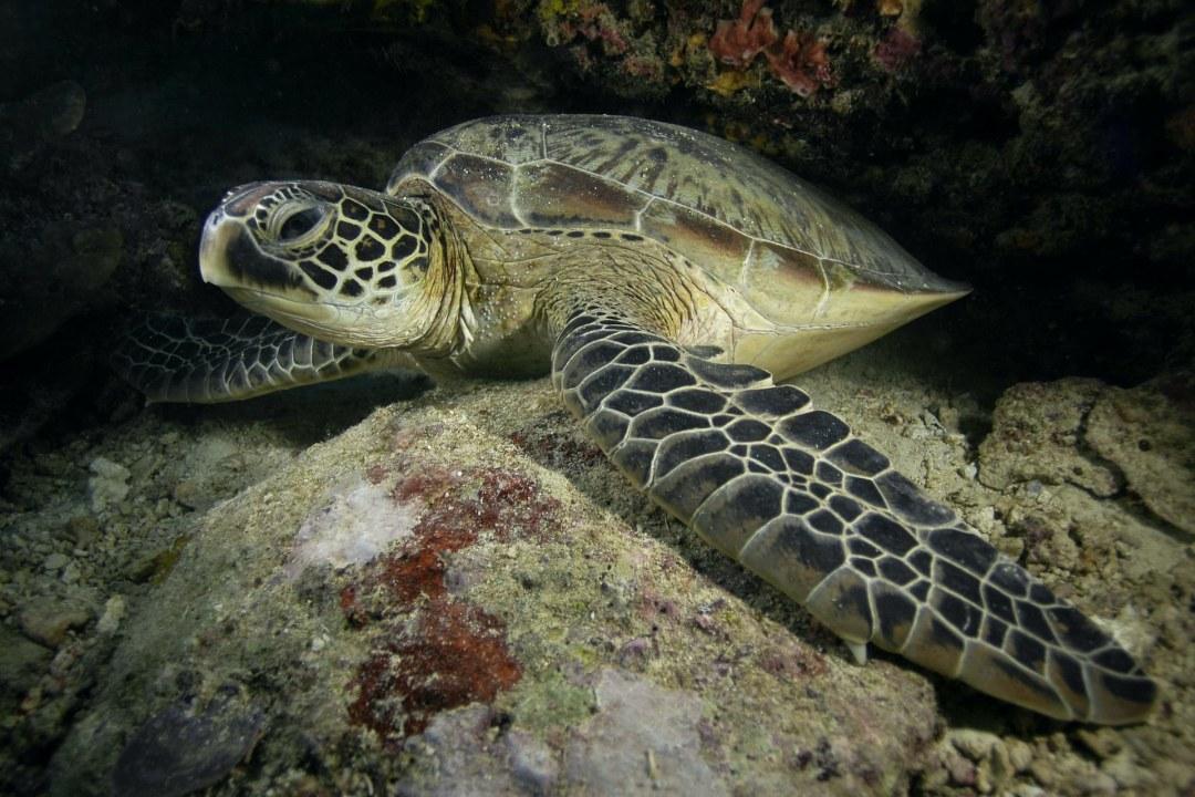 Green Sea Turtle: Facts, Habitat, Ocean Life