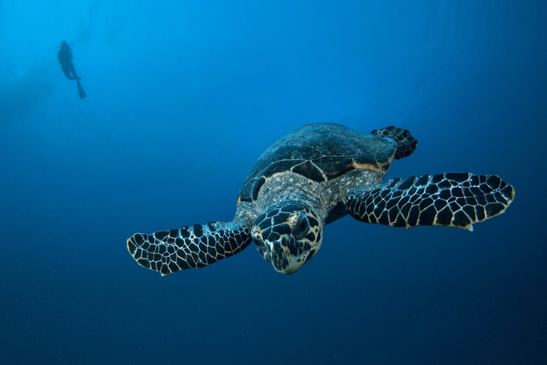 Sea Turtles: Ancient Mariners of the Indian Ocean