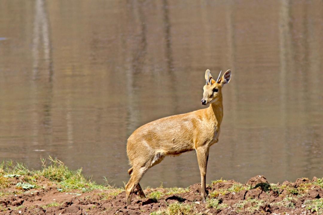 Four-horned Antelope: Facts, Diet, Behaviour
