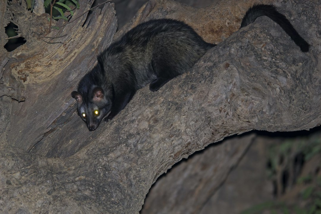 Common Palm Civet: Facts, Habitat, Threats