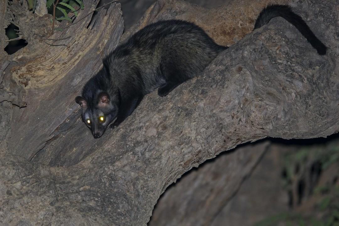 Common Palm Civet: Facts, Habitat, Threats