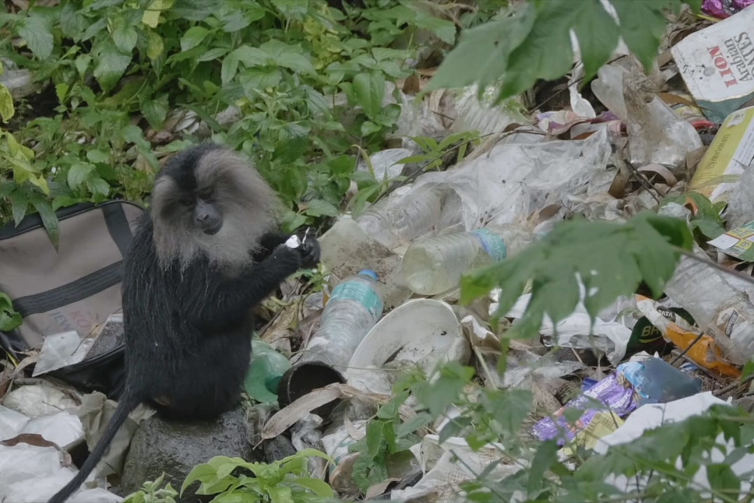 From Treetops to Trash: The Lion-tailed Macaques' Fight for Survival