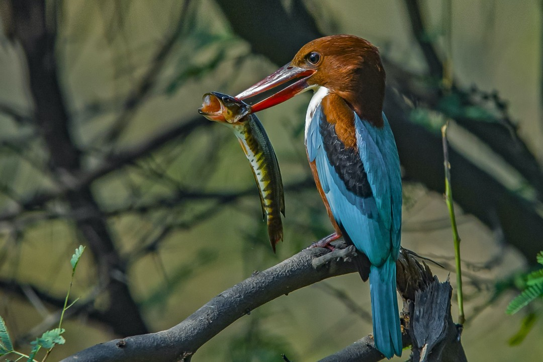 Jewels in the Air: Kingfishers of India