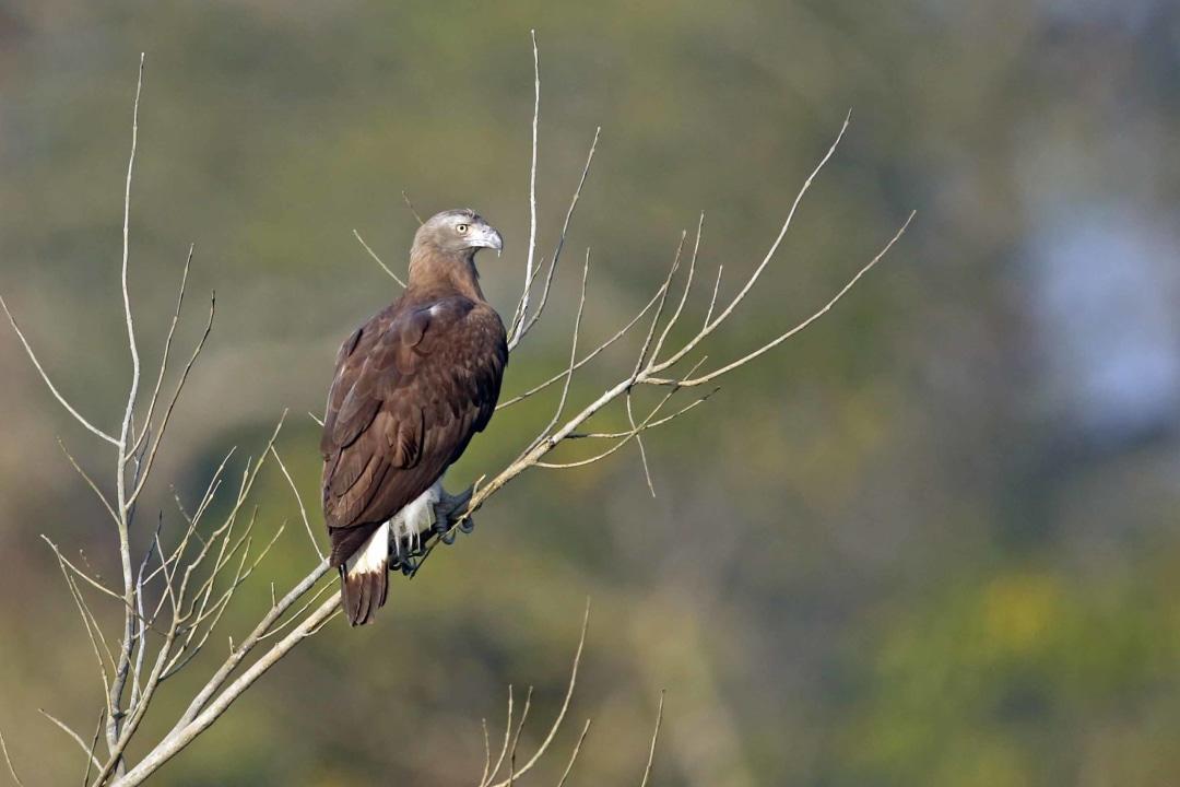 Grey-headed Fish Eagle: Facts, Habitat, Threats