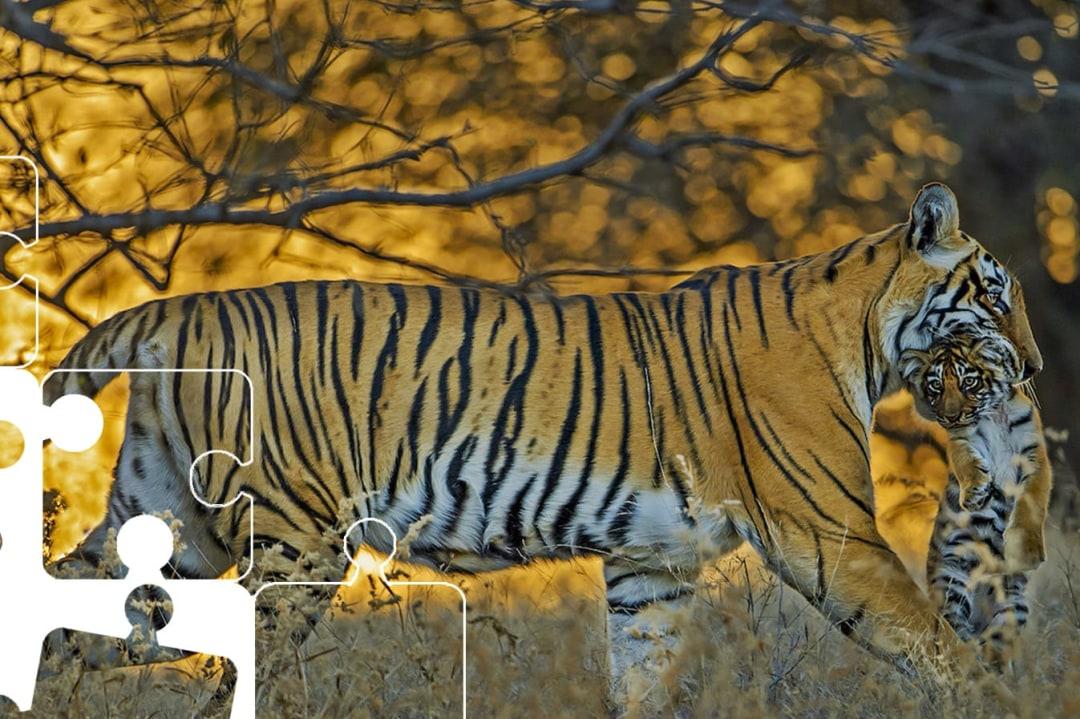 Wildlife Puzzle: Tiger Parenting