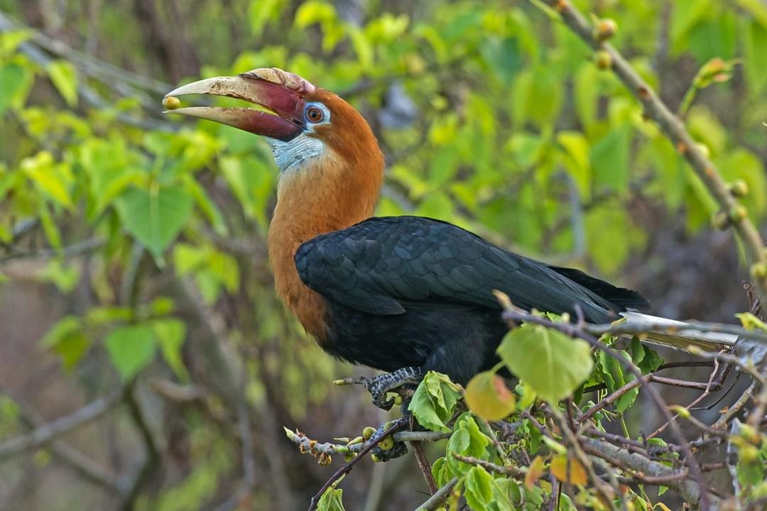 Narcondam Hornbills: Gardeners of their Island Eden