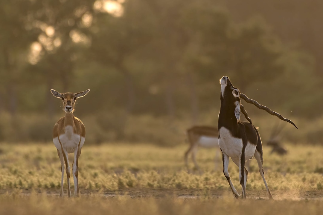 Poo to Woo:  How Blackbucks Use Their Dung to Attract Mates