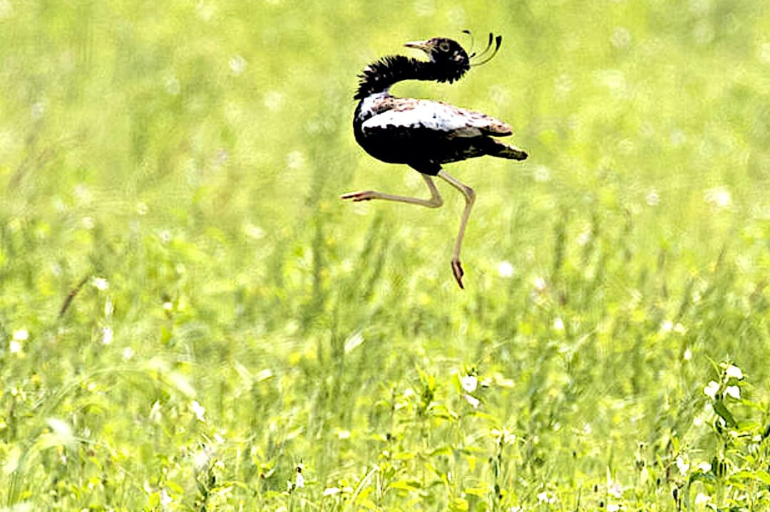 Lesser Florican: Hope in Rajasthan, but on the Brink in Madhya Pradesh