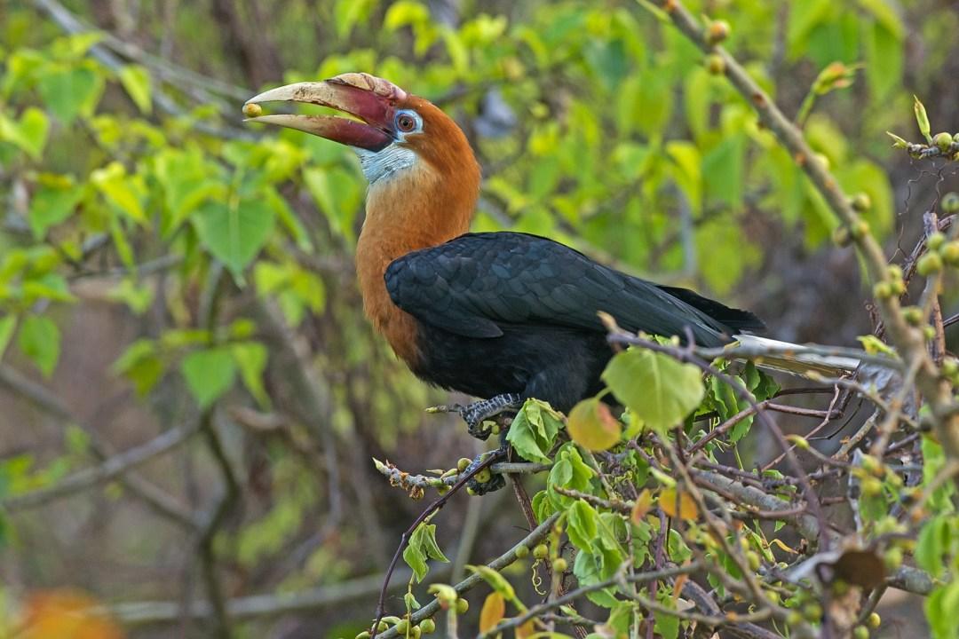 Narcondam Hornbill: Facts, Diet, Behaviour