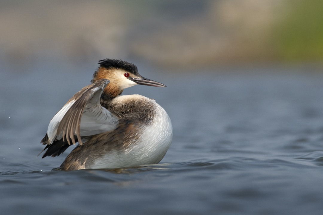 Love at First Dance: The Charming Romance of Great Crested Grebes