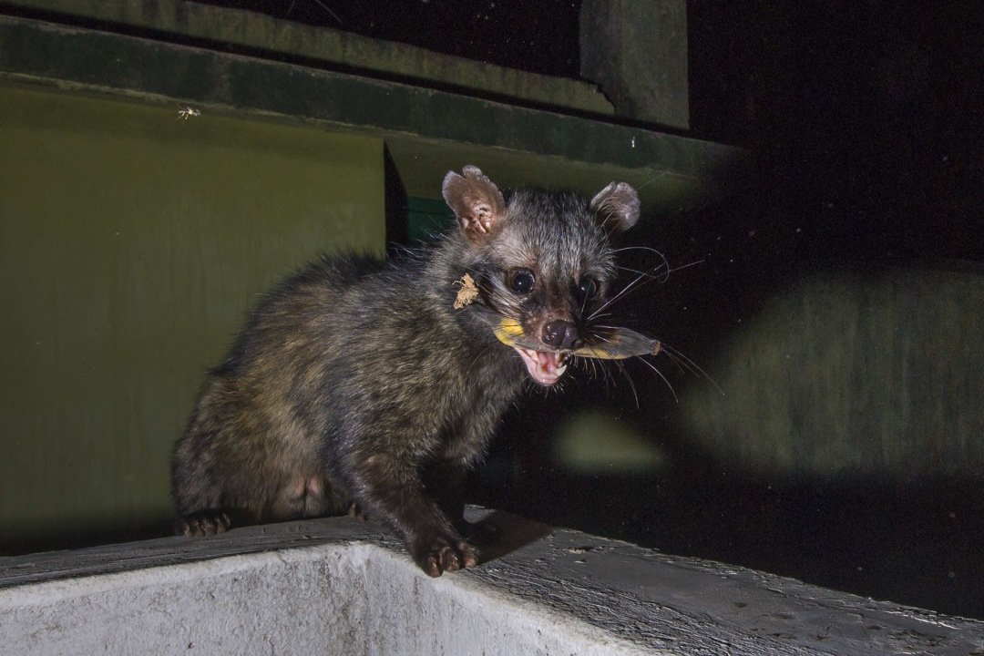 Unwelcome at Home: The Palm Civets of Kolkata