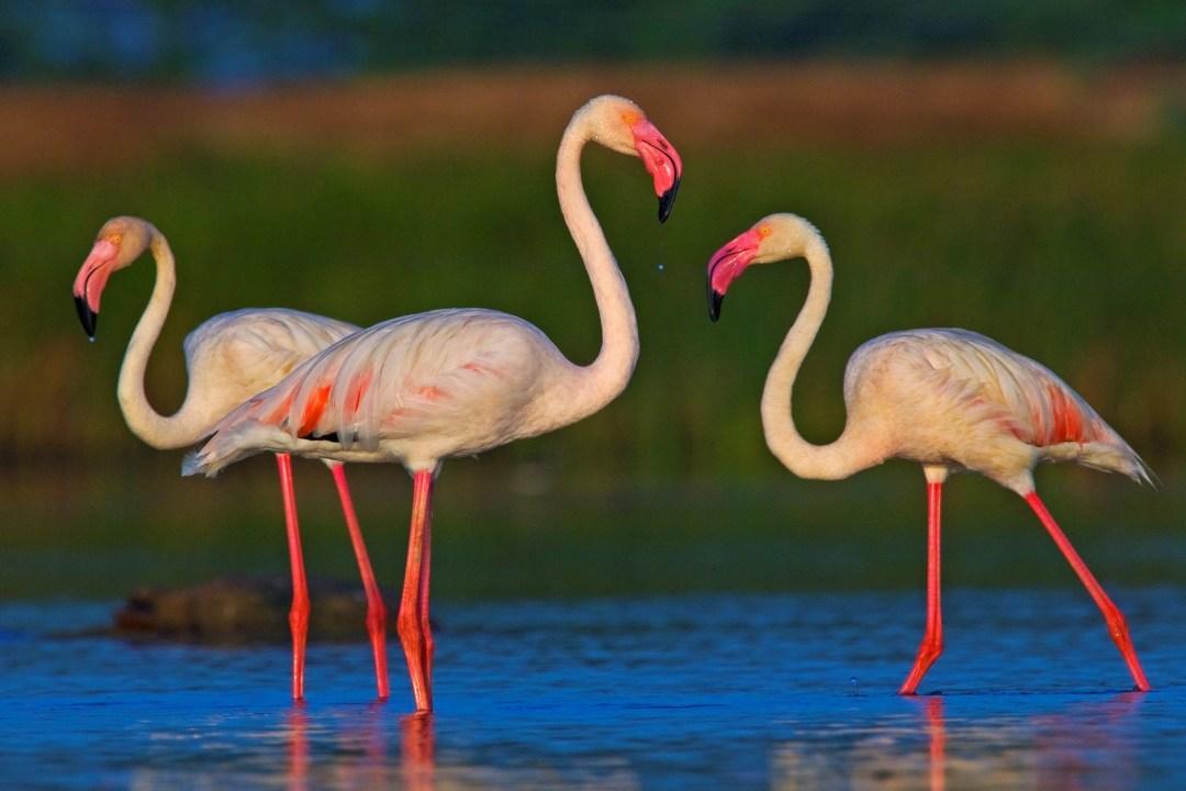 Greater Flamingo: Facts, Habitat, Threats