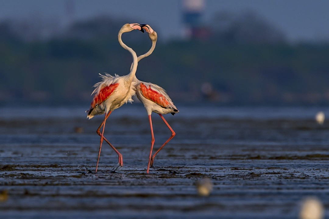 Frabjous Flamingos: Haughty Ballerinas of the Wetlands