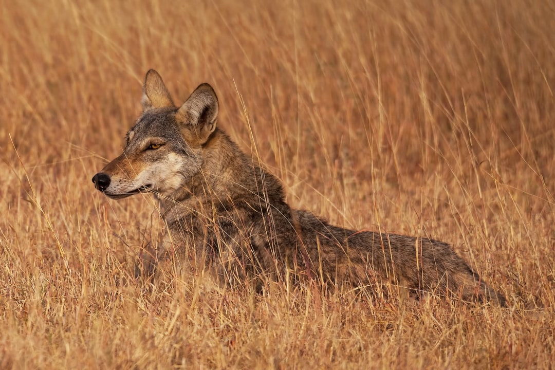 India's Only Wolf Sanctuary Threatened by Mining